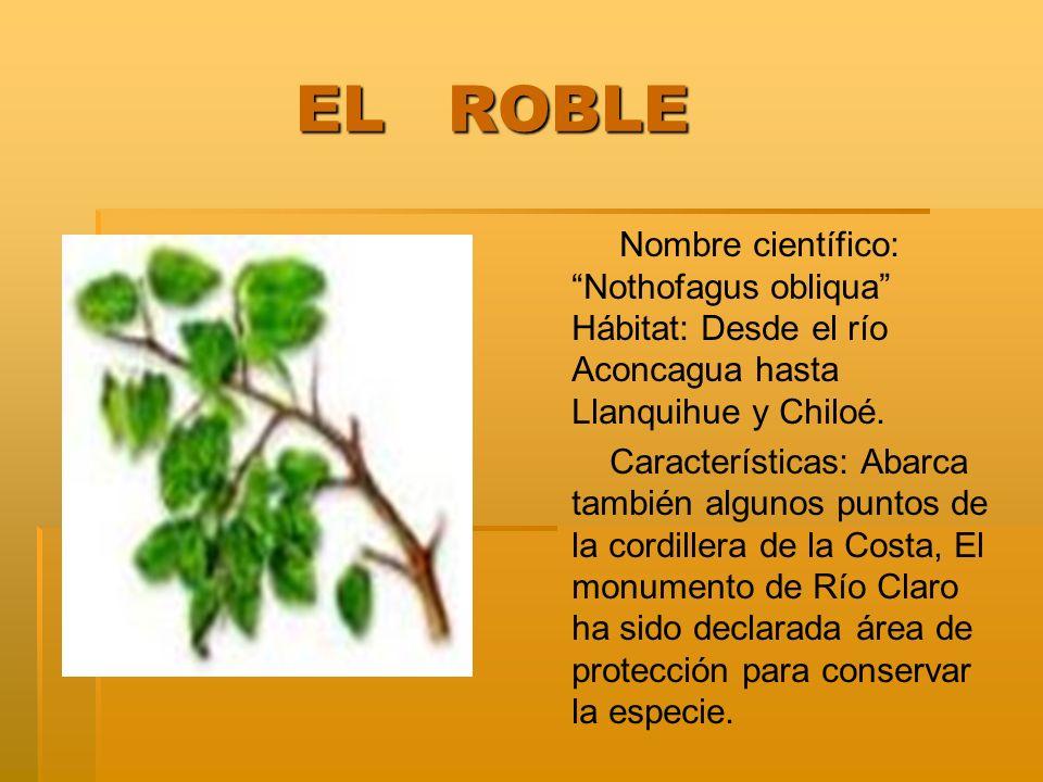 EL ROBLE Nombre científico: Nothofagus obliqua Hábitat: Desde el río Aconcagua hasta Llanquihue y Chiloé.
