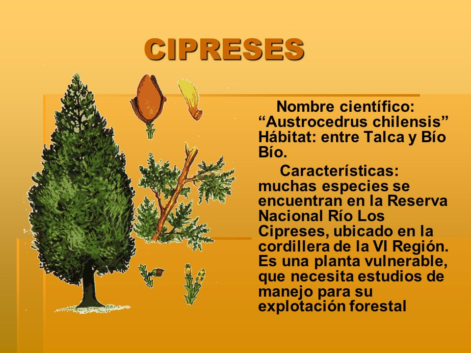 CIPRESES Nombre científico: Austrocedrus chilensis Hábitat: entre Talca y Bío Bío.
