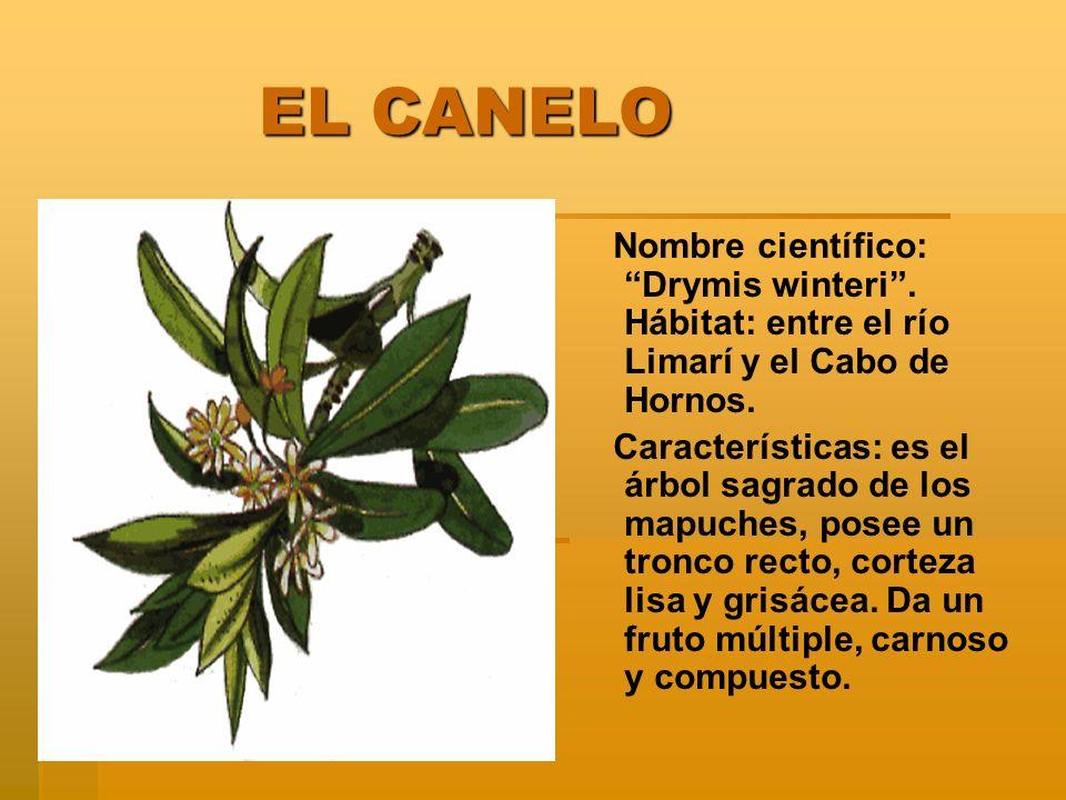 EL CANELO Nombre científico: Drymis winteri . Hábitat: entre el río Limarí y el Cabo de Hornos.