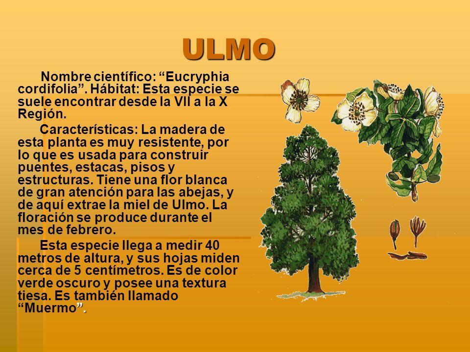 ULMO Nombre científico: Eucryphia cordifolia . Hábitat: Esta especie se suele encontrar desde la VII a la X Región.