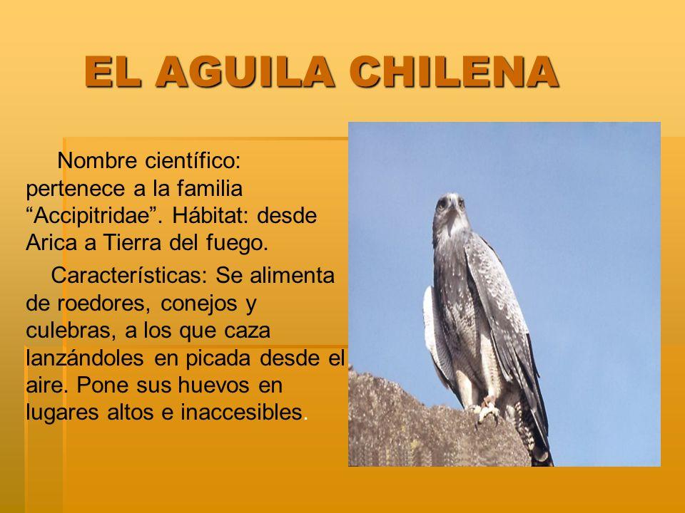 EL AGUILA CHILENA Nombre científico: pertenece a la familia Accipitridae . Hábitat: desde Arica a Tierra del fuego.