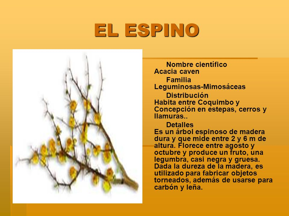 EL ESPINO Nombre científico Acacia caven