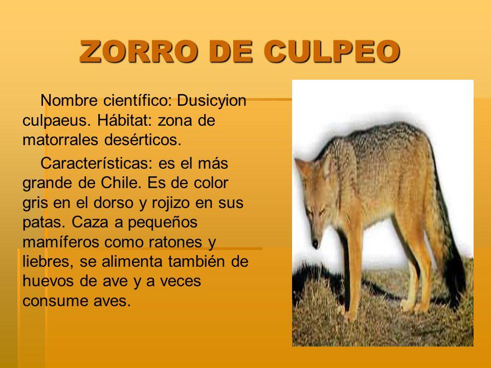 ZORRO DE CULPEO Nombre científico: Dusicyion culpaeus. Hábitat: zona de matorrales desérticos.