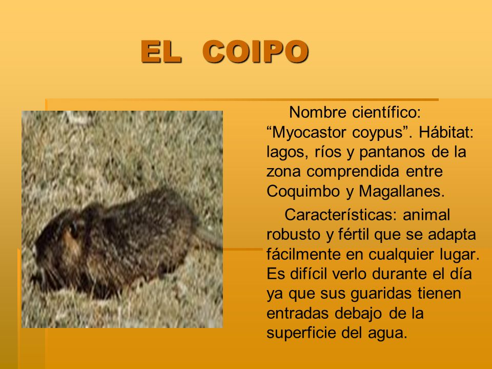 EL COIPO Nombre científico: Myocastor coypus . Hábitat: lagos, ríos y pantanos de la zona comprendida entre Coquimbo y Magallanes.