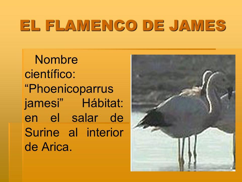 EL FLAMENCO DE JAMES Nombre científico: Phoenicoparrus jamesi Hábitat: en el salar de Surine al interior de Arica.