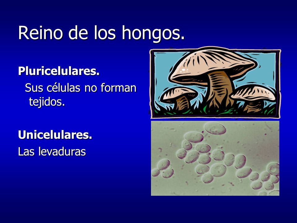 Reino de los hongos. Pluricelulares. Sus células no forman tejidos.