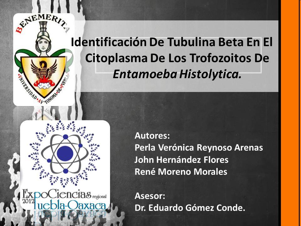 Identificación De Tubulina Beta En El Citoplasma De Los Trofozoitos De Entamoeba Histolytica.