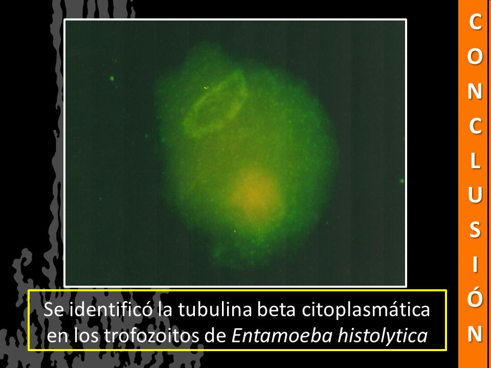 Conclusión Se identificó la tubulina beta citoplasmática en los trofozoitos de Entamoeba histolytica.