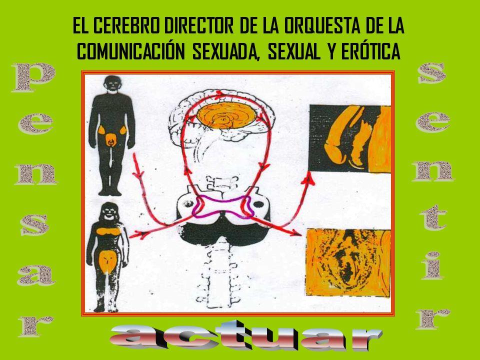 EL CEREBRO DIRECTOR DE LA ORQUESTA DE LA COMUNICACIÓN SEXUADA, SEXUAL Y ERÓTICA