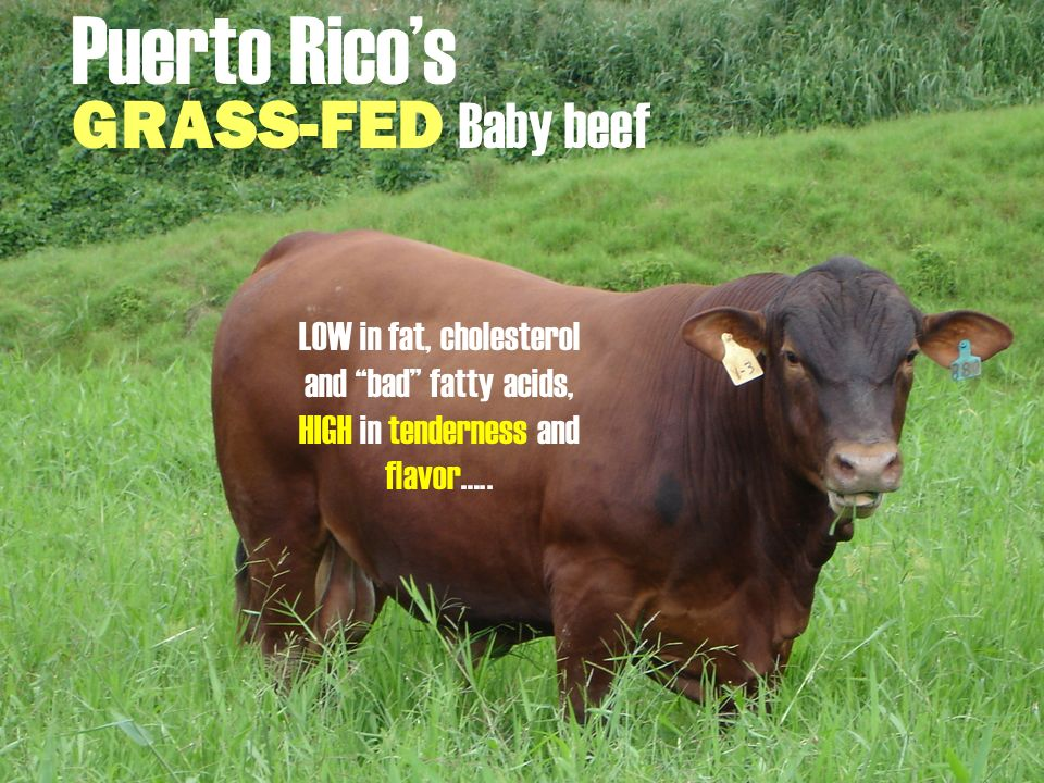 Puerto Rico's GRASS-FED Baby beef