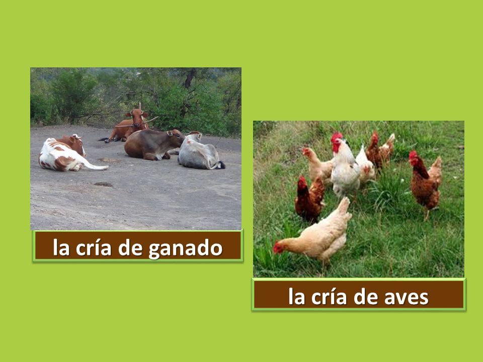 la cría de ganado la cría de aves