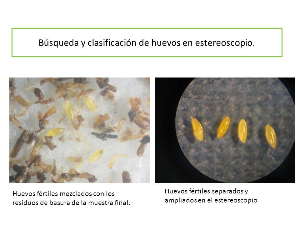 Búsqueda y clasificación de huevos en estereoscopio.