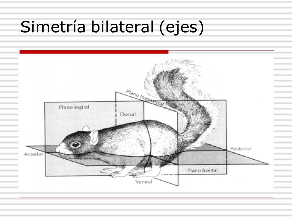 Simetría bilateral (ejes)
