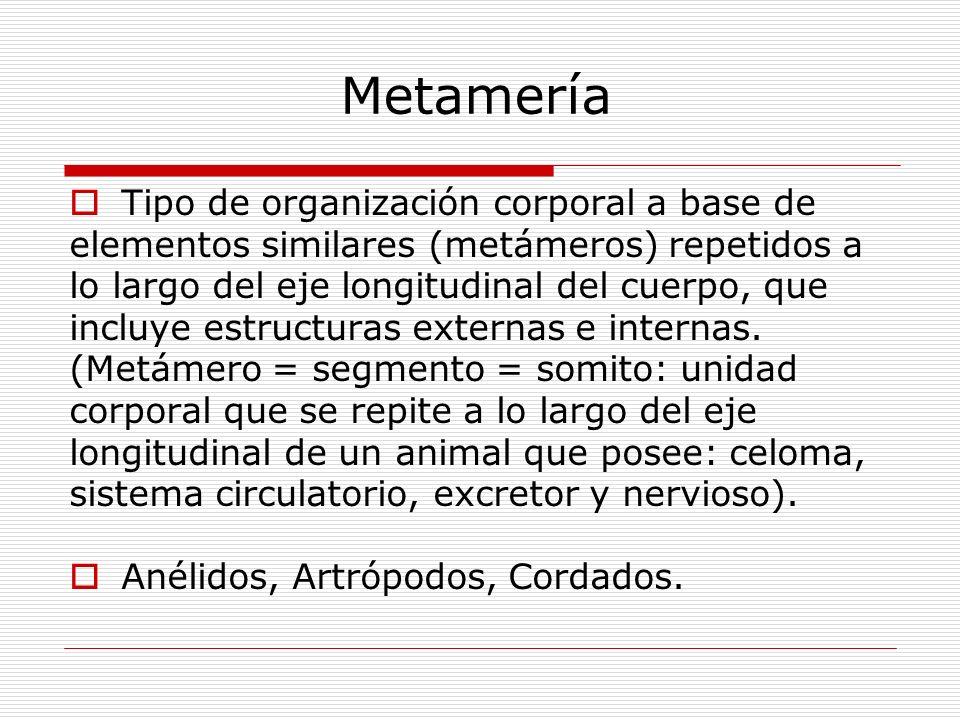 Metamería Tipo de organización corporal a base de
