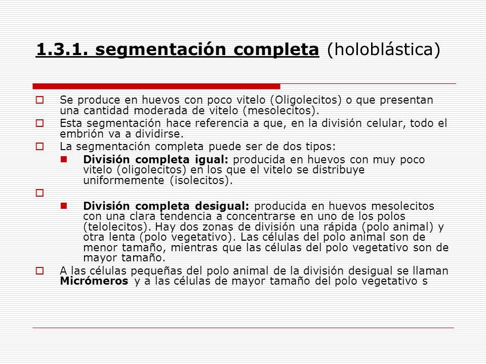 1.3.1. segmentación completa (holoblástica)