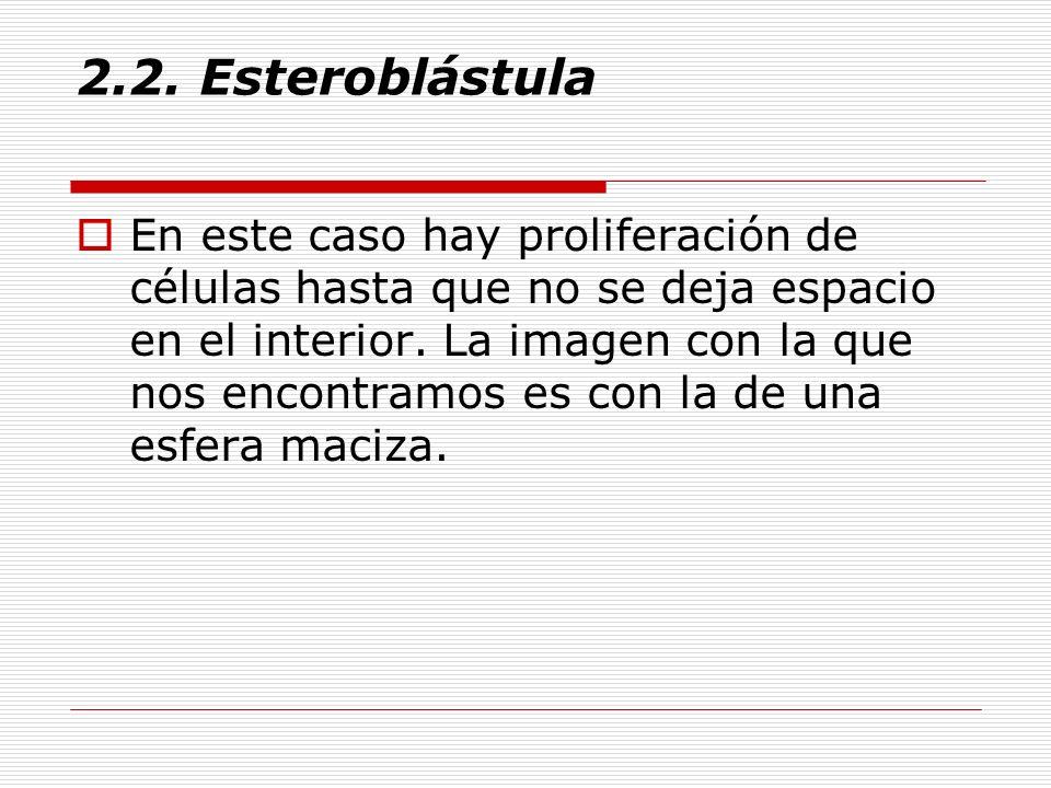 2.2. Esteroblástula