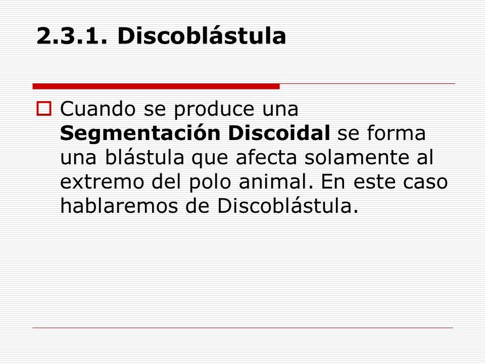 2.3.1. Discoblástula