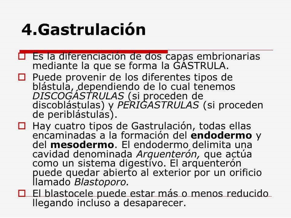 4.Gastrulación Es la diferenciación de dos capas embrionarias mediante la que se forma la GÁSTRULA.