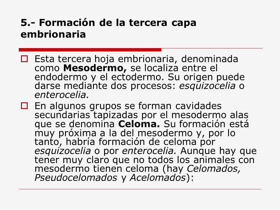 5.- Formación de la tercera capa embrionaria