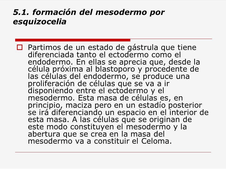 5.1. formación del mesodermo por esquizocelia