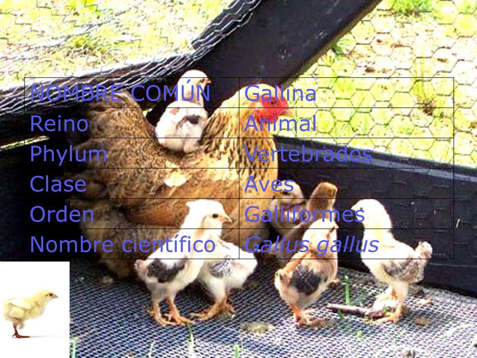 NOMBRE COMÚN Gallina Reino Animal Phylum Vertebrados Clase Aves Orden