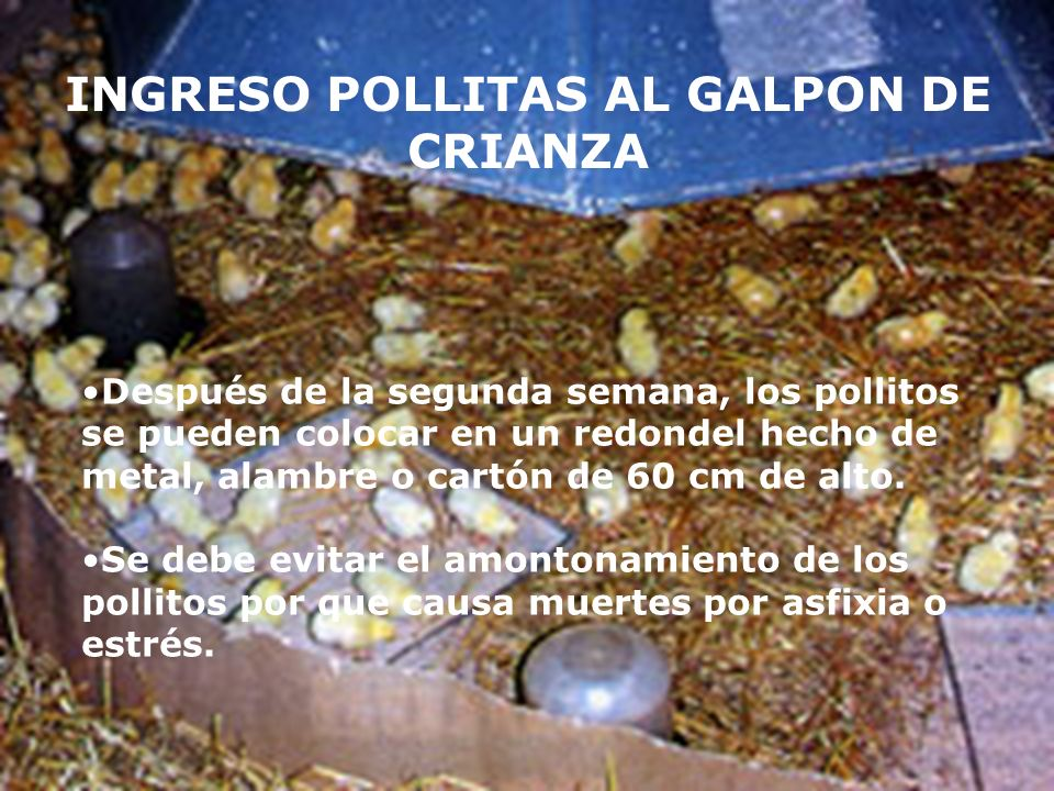 INGRESO POLLITAS AL GALPON DE CRIANZA
