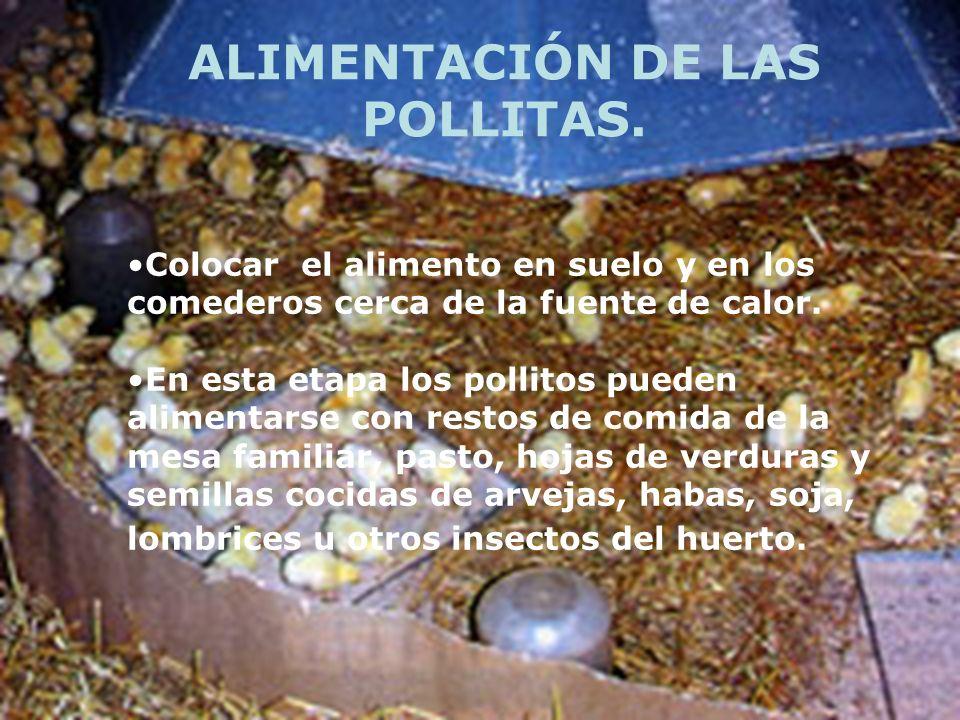 ALIMENTACIÓN DE LAS POLLITAS.