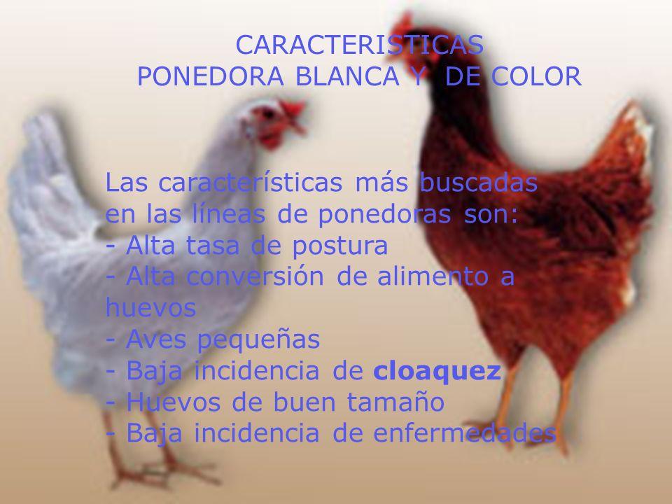 PONEDORA BLANCA Y DE COLOR