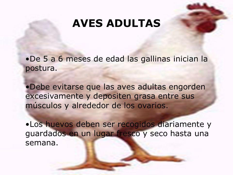 AVES ADULTAS De 5 a 6 meses de edad las gallinas inician la postura.