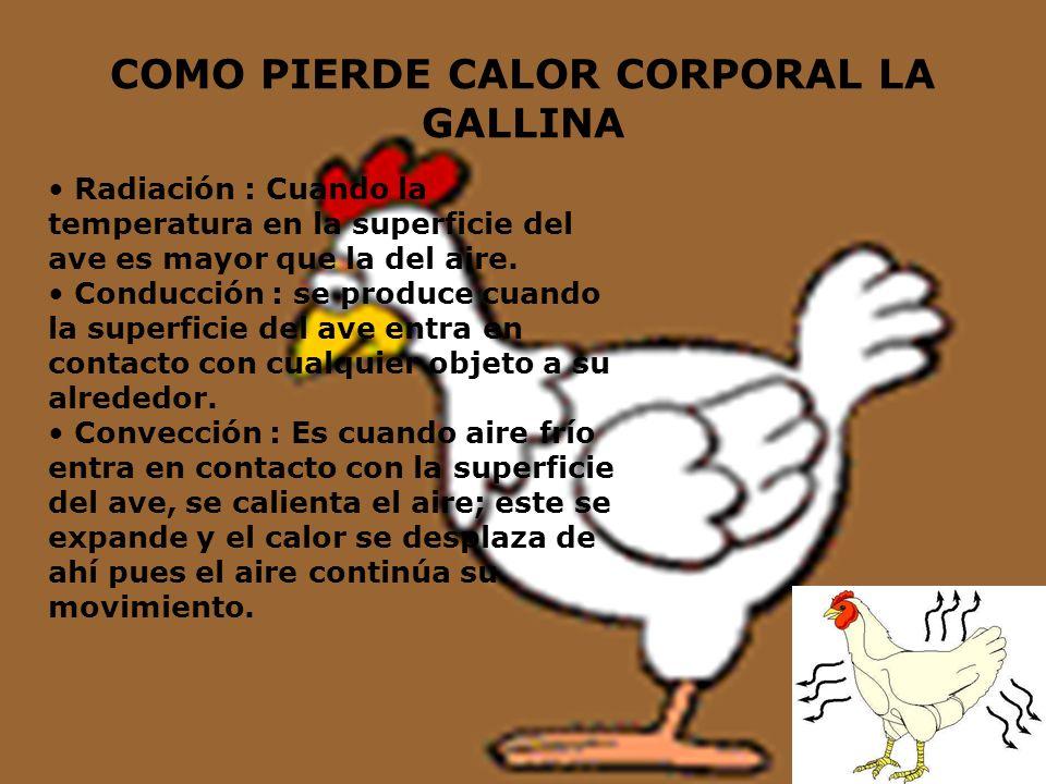 COMO PIERDE CALOR CORPORAL LA GALLINA