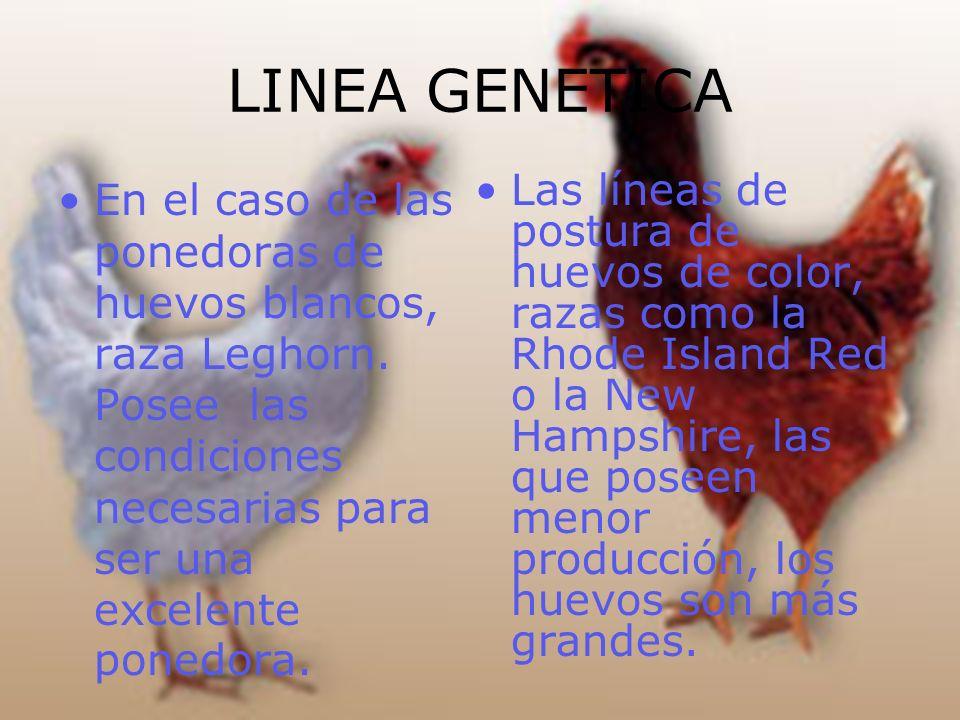 LINEA GENETICA En el caso de las ponedoras de huevos blancos, raza Leghorn. Posee las condiciones necesarias para ser una excelente ponedora.
