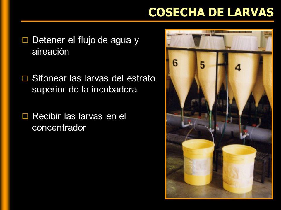 COSECHA DE LARVAS Detener el flujo de agua y aireación