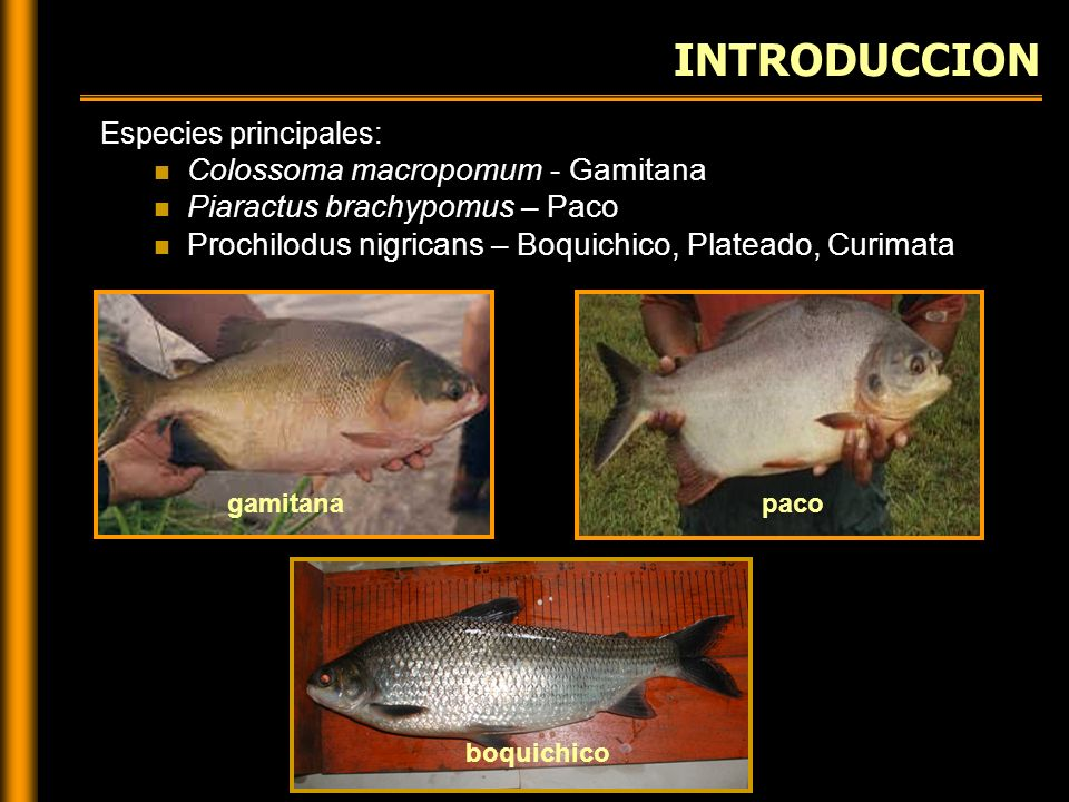 INTRODUCCION Colossoma macropomum - Gamitana