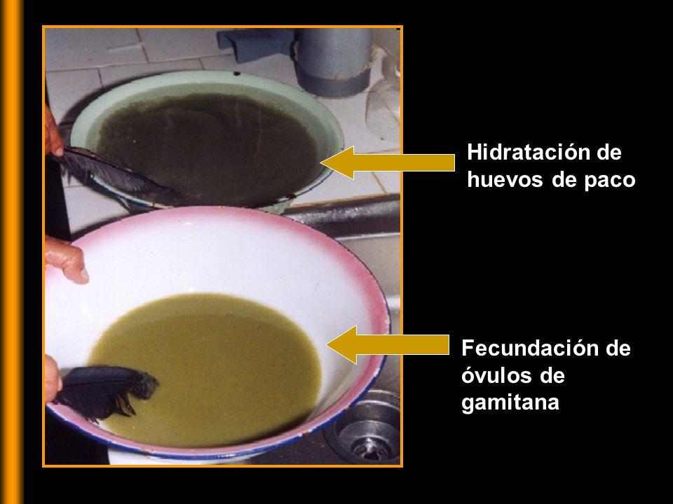 Hidratación de huevos de paco