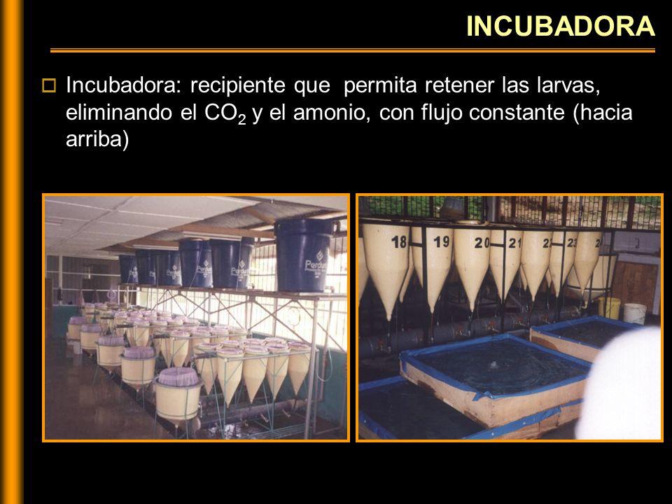 INCUBADORA Incubadora: recipiente que permita retener las larvas, eliminando el CO2 y el amonio, con flujo constante (hacia arriba)