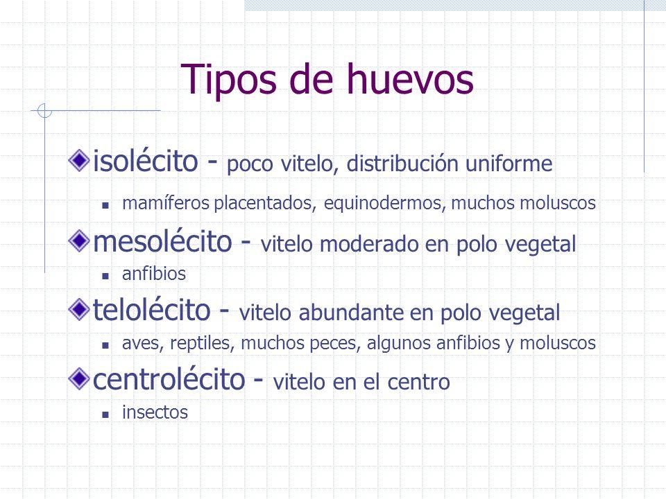 Tipos de huevos isolécito - poco vitelo, distribución uniforme