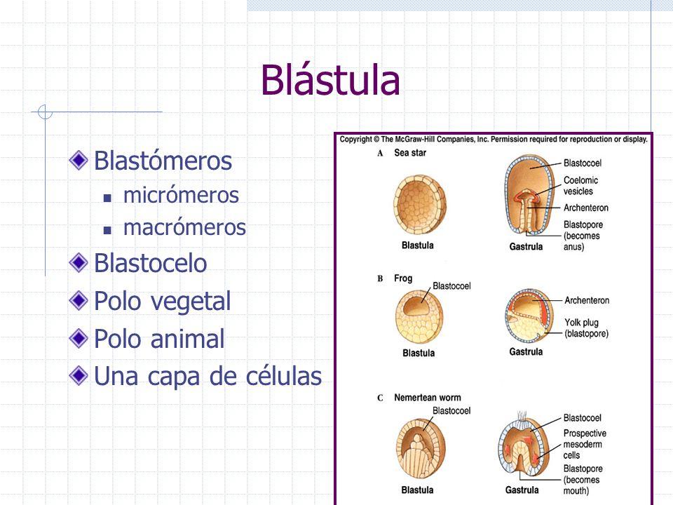 Blástula Blastómeros Blastocelo Polo vegetal Polo animal