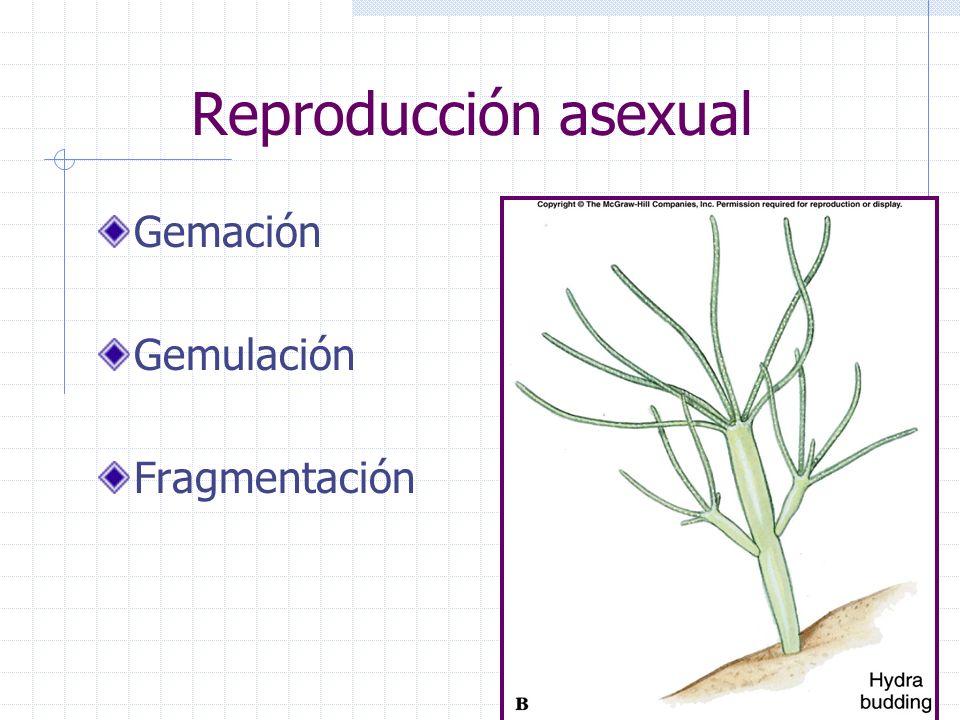 Reproducción asexual Gemación Gemulación Fragmentación