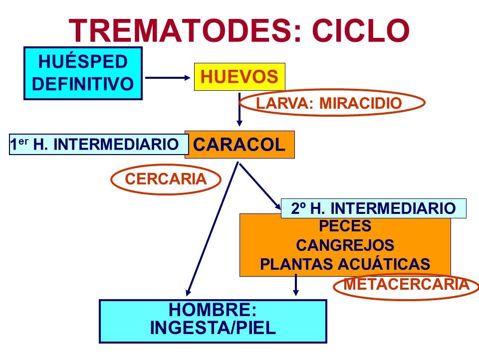 TREMATODES: CICLO HUÉSPED DEFINITIVO HUEVOS CARACOL HOMBRE: