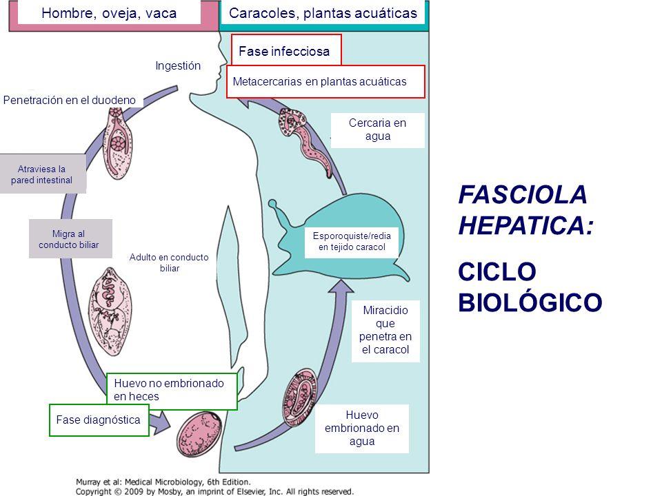 FASCIOLA HEPATICA: CICLO BIOLÓGICO Hombre, oveja, vaca