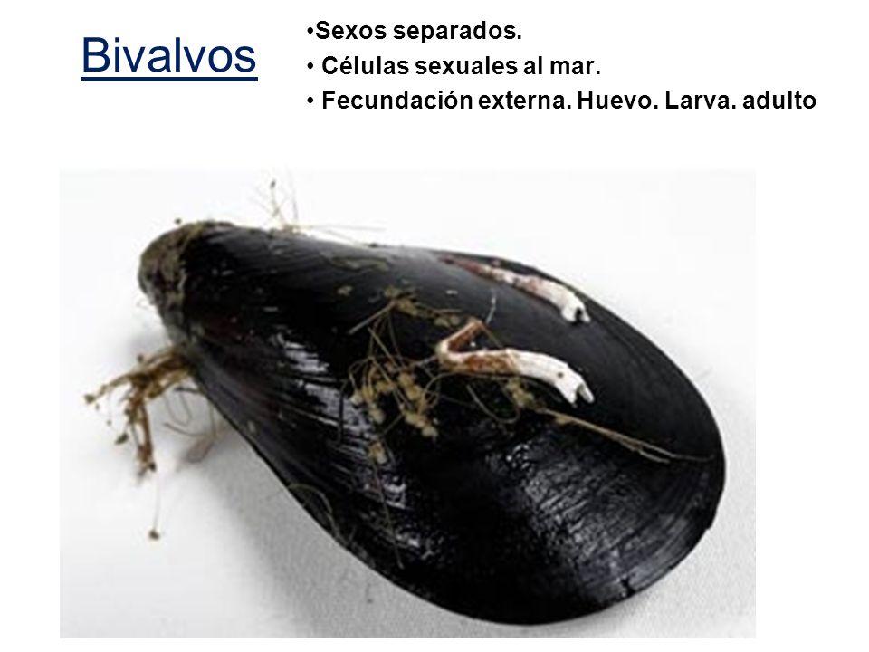 Bivalvos Sexos separados. Células sexuales al mar.