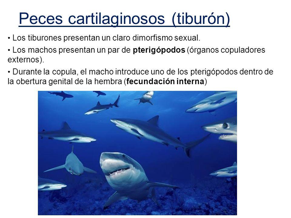 Peces cartilaginosos (tiburón)