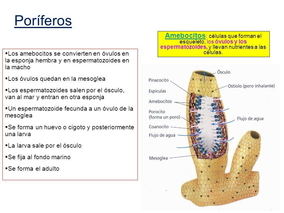 Poríferos Amebocitos: células que forman el esqueleto, los óvulos y los espermatozoides, y llevan nutrientes a las células.