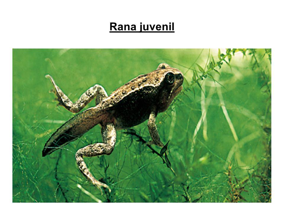 12 Rana juvenil *