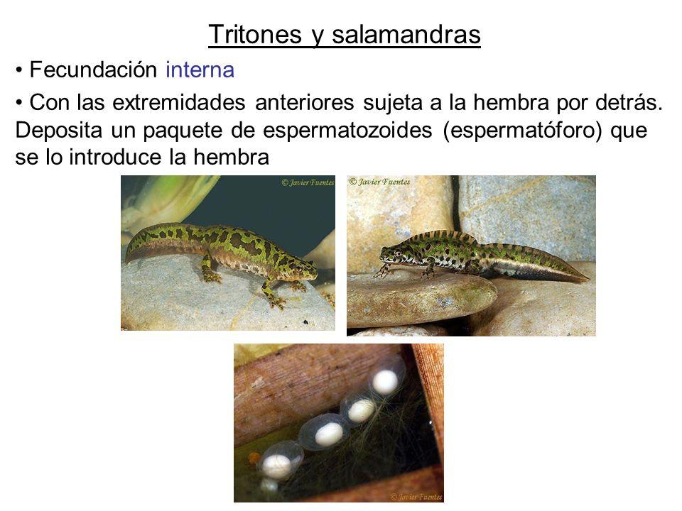 Tritones y salamandras