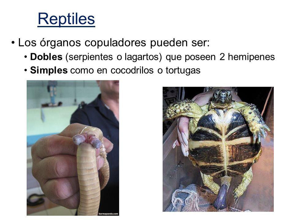 Reptiles Los órganos copuladores pueden ser: