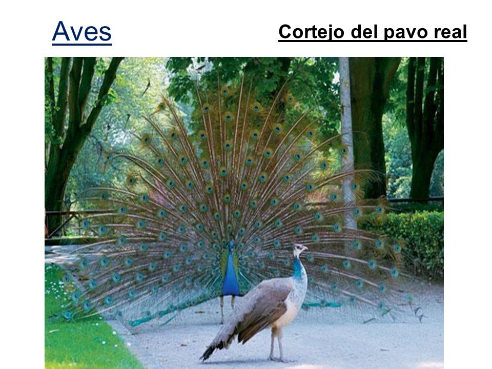 Aves Cortejo del pavo real