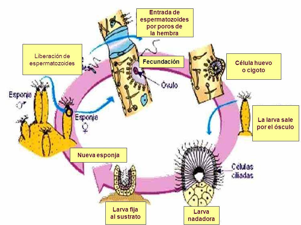 Entrada de espermatozoides. por poros de. la hembra. Liberación de. espermatozoides. Célula huevo.
