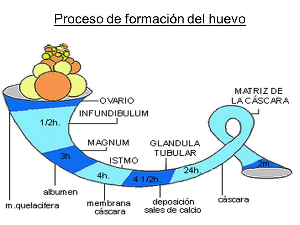 Proceso de formación del huevo