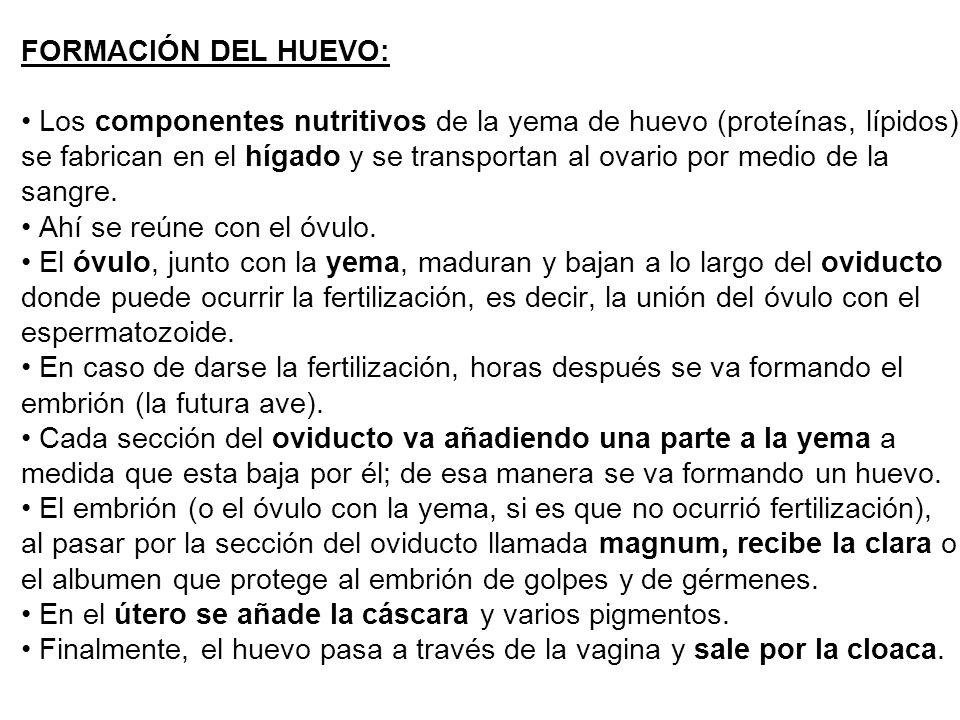 FORMACIÓN DEL HUEVO: